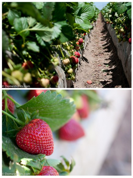 I Heart California Strawberries23